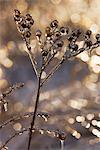 Dried Flower Covered in Ice    Stock Photo - Premium Rights-Managed, Artist: George Remington, Code: 700-02348986