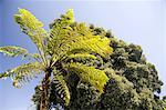 Portugal, Madeira, Funchal, tree fern Stock Photo - Premium Royalty-Freenull, Code: 610-02374465