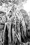Overgrown Tree Roots, Angkor Wat, Siem Reap, Cambodia