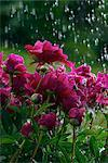 Close-up of flowers in rain    Stock Photo - Premium Rights-Managed, Artist: Glowimages, Code: 837-02380569