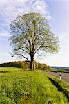 Lime Tree by Road, North Rhine-Westphalia, Germany    Stock Photo - Premium Rights-Managed, Artist: F. Lukasseck, Code: 700-02428390