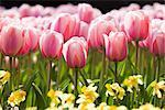Tulips at Keukenhof Gardens Lisse, Netherlands