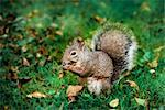 Gray Squirrel    Stock Photo - Premium Royalty-Free, Artist: Gary Gerovac, Code: 600-02428932