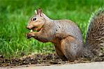 Gray Squirrel    Stock Photo - Premium Royalty-Free, Artist: Gary Gerovac, Code: 600-02428933