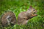 Gray Squirrel    Stock Photo - Premium Royalty-Free, Artist: Gary Gerovac, Code: 600-02428939