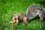 Gray Squirrel    Stock Photo - Premium Royalty-Free, Artist: Gary Gerovac, Code: 600-02428940