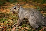 Gray Squirrel    Stock Photo - Premium Royalty-Free, Artist: Gary Gerovac, Code: 600-02428944