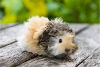 Lunkarya Guinea Pig    Stock Photo - Premium Royalty-Freenull, Code: 600-02461440