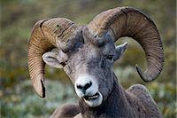 ram (animal) - Portrait of Bighorn Sheep, Wilcox Pass Near Athabasca Glacier, Jasper National Park, Alberta, Canada Stock Photo - Premium Rights-Managednull, Code: 700-02519084