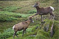 ram (animal) - Two Bighorn Sheep, Wilcox Pass, Jasper National Park, Alberta, Canada    Stock Photo - Premium Rights-Managednull, Code: 700-02519107