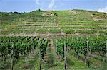 Overview of Vineyard, Ahrweiler, Germany    Stock Photo - Premium Rights-Managed, Artist: Elke Esser, Code: 700-02586153