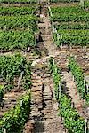 Stone Stairway through Vineyard, Ahrweiler, Germany, Europe    Stock Photo - Premium Rights-Managed, Artist: Elke Esser, Code: 700-02586157