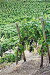 Grapes Hanging from Vines in Vineyard, Ahrweiler, Germany    Stock Photo - Premium Rights-Managed, Artist: Elke Esser, Code: 700-02586163