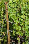 Wine Grapes on Vine, Ahrweiler, Germany    Stock Photo - Premium Rights-Managed, Artist: Elke Esser, Code: 700-02586175