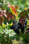 Wine Grapes on Vine, Ahrweiler, Germany    Stock Photo - Premium Rights-Managed, Artist: Elke Esser, Code: 700-02586176