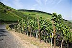 Overview of Vineyard, Ahrweiler,  Germany    Stock Photo - Premium Rights-Managed, Artist: Elke Esser, Code: 700-02586179