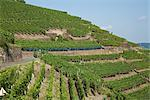 Overview of Vineyard, Ahrweiler, Germany    Stock Photo - Premium Rights-Managed, Artist: Elke Esser, Code: 700-02586181