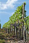 Grapes Hanging from Vines in Vineyard, Ahrweiler, Germany    Stock Photo - Premium Rights-Managed, Artist: Elke Esser, Code: 700-02586183