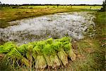 Paddy Fields, Cambodia    Stock Photo - Premium Rights-Managed, Artist: Brian Pieters, Code: 700-02593810