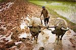 Plowing, Paddy Fields, Cambodia    Stock Photo - Premium Rights-Managed, Artist: Brian Pieters, Code: 700-02593813