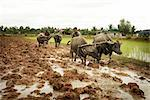 Plowing, Paddy Fields, Cambodia    Stock Photo - Premium Rights-Managed, Artist: Brian Pieters, Code: 700-02593815