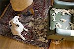 Dog and Destroyed Chair    Stock Photo - Premium Rights-Managed, Artist: Michael Eudenbach, Code: 700-02594145