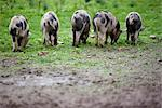 Back view of a group of spotty piglets eating    Stock Photo - Premium Rights-Managed, Artist: ableimages, Code: 822-02620878