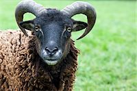ram (animal) - Close up of a ram    Stock Photo - Premium Rights-Managednull, Code: 822-02621046