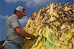 Farmer Inspecting Crop of Tobacco , Tennessee , USA    Stock Photo - Premium Rights-Managed, Artist: foodanddrinkphotos, Code: 824-02626607