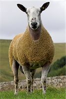 ram (animal) - Blue Faced Leicester Ram in Field , Northumberland    Stock Photo - Premium Rights-Managednull, Code: 824-02626624