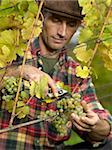 A vintner harvesting grapes Stock Photo - Premium Royalty-Free, Artist: Hiep Vu                  , Code: 653-02634613