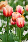 Close-up of Tulips at the Real Jardin Botanico de Madrid, Madrid, Spain    Stock Photo - Premium Royalty-Free, Artist: Alberto Biscaro, Code: 600-02659700