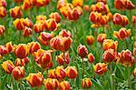 Close-up of Tulips at the Real Jardin Botanico de Madrid, Madrid, Spain    Stock Photo - Premium Royalty-Free, Artist: Alberto Biscaro, Code: 600-02659702