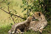 Cheetah Mother and Cub    Stock Photo - Premium Rights-Managednull, Code: 700-02659716