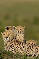 Cheetah Family on Termite Mound    Stock Photo - Premium Rights-Managednull, Code: 700-02659725
