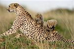 Cheetah Family    Stock Photo - Premium Rights-Managed, Artist: Ken & Michelle Dyball, Code: 700-02659731