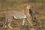 Cheetah with Warthog Prey    Stock Photo - Premium Rights-Managed, Artist: Ken & Michelle Dyball, Code: 700-02659761