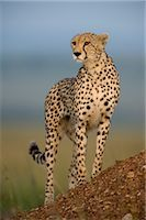 Cheetah Standing on Termite Mound    Stock Photo - Premium Rights-Managednull, Code: 700-02659769
