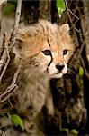 Portrait of Cheetah Cub    Stock Photo - Premium Rights-Managed, Artist: Ken & Michelle Dyball, Code: 700-02659772