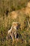 Cheetah Cub in Field    Stock Photo - Premium Rights-Managed, Artist: Ken & Michelle Dyball, Code: 700-02659777