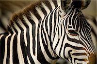 Zebra    Stock Photo - Premium Rights-Managednull, Code: 700-02659789