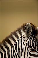 Zebra    Stock Photo - Premium Rights-Managednull, Code: 700-02659794
