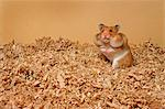 Hamster with Stuffed Cheeks    Stock Photo - Premium Royalty-Free, Artist: Gloria H. Chomica, Code: 600-02659828