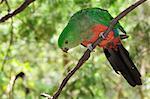 Australian King Parrot, Dandenong Ranges National Park, Victoria, Australia