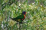 Rainbow Lorikeet, Yarra Bend Park, Melbourne, Victoria, Australia