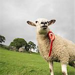 Prize-Winning Sheep With Rosette Stock Photo - Premium Royalty-Free, Artist: Photocuisine, Code: 649-02666640