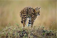 Serval Kitten    Stock Photo - Premium Rights-Managednull, Code: 700-02671429