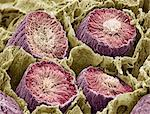 Sperm production. Coloured scanning electron micrograph (SEM) of sperm cells (spermatozoa) in the seminiferous tubules of the testis. This is the site of spermatogenesis (sperm production). Sperm tails are yellow, sperm heads are pale pink and Sertoli cells are dark pink. Connective tissue sheaths are green. Magnification: x160 when printed at 10 centimetres wide. Stock Photo - Premium Royalty-Free, Artist: Gary Rhijnsburger, Code: 679-02681797