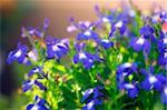 Lobelia flowers (Lobelia erinus). Photographed in May. Stock Photo - Premium Royalty-Free, Artist: AWL Images, Code: 679-02682085