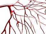 Arteries, computer artwork. Stock Photo - Premium Royalty-Freenull, Code: 679-02684773
